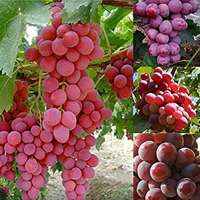 100 Grape Fruit Seeds Delicious Fruit Sweet Grape Seeds Home Garden Easy Planting Seed Heirloom Organic Edible Garden : Garden & Outdoor