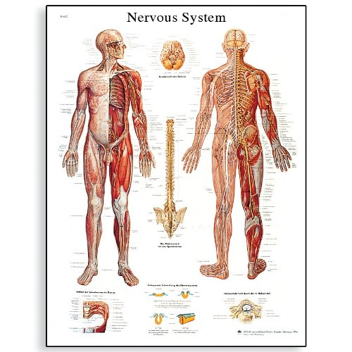 3B Scientific VR1620L Glossy Laminated Paper Nervous System Anatomical Chart, Poster Size 20