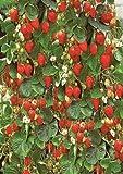 10+ seeds of Hanging Basket Strawberry Seeds
