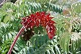 True Source Seeds - Giant HONEYBUSH Melianthus Major Honey Bush Flower Evergreen 5 Seeds