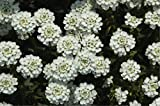 Candytuft Evergreen 'Snowflake' (Iberis Sempervirens L.) Flower Plant Seeds, Perennial Heirloom