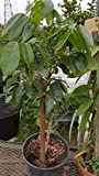 9EzTropical - Longan Tropical Fruit Tree - 2 to 3 Feet Tall - Grafted Tree - Ship in 1 Gal Pot
