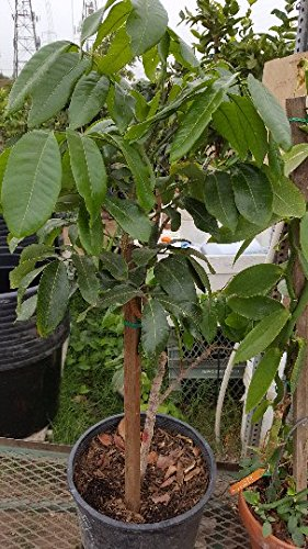 9EzTropical - Longan Tropical Fruit Tree - 2 to 3 Feet Tall - Grafted Tree - Ship in 1 Gal Pot by 9EzTropical (Image #1)