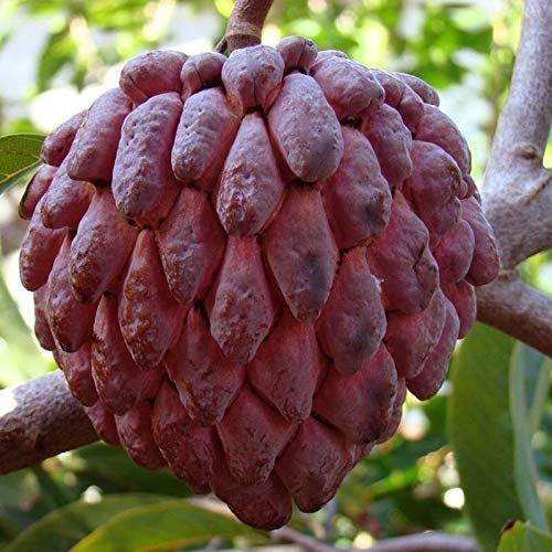 20 Seeds RED ANNONA SQUAMOSA, Sugar ()