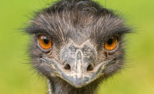ConversationPrints EMU POSTER PICTURE PHOTO PRINT BANNER bir