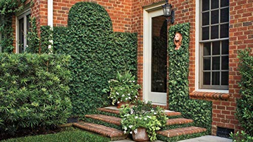 Creeping Fig Vine - Ficus Pumila - 30 Live Fully Rooted Plants - Climbing Ivy by Florida Foliage (Image #1)