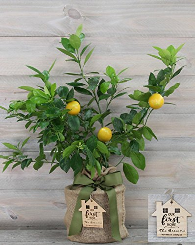 Improved Meyer Lemon Housewarming Gift Tree with Personalized Keepsake Ornament by The Magnolia Company ()