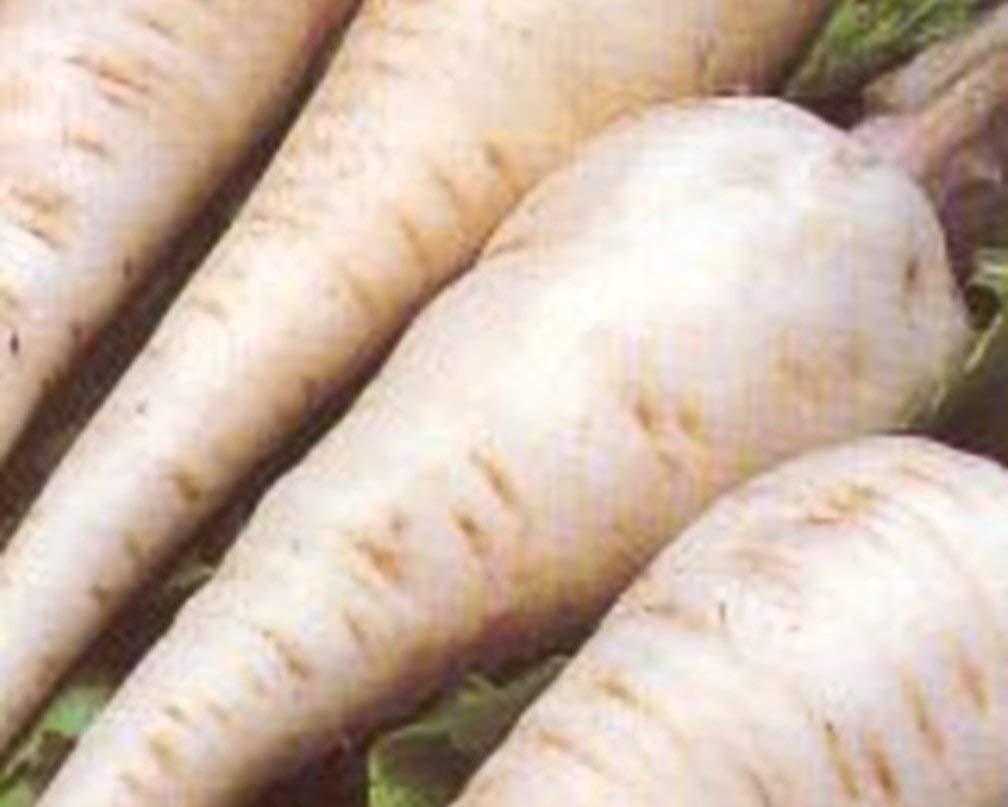 Parsnip Harris Model Great Heirloom Vegetable by Seed Kingdom Bulk 5 Lb Seeds by Seed Kingdom