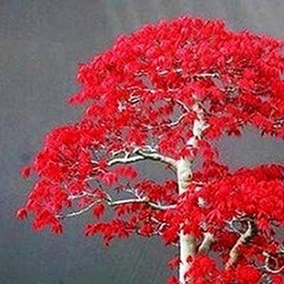 Maple Tree Seeds for Yard Gardening Plant, 20Pcs Red Maple Tree Seeds Acer Palmatum Plant Bonsai Home Garden Yard Decor - Maple Tree Seeds by Mosichi : Garden & Outdoor