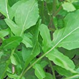 2000 Roquette Arugula Aka Rocket Rucola Rugula Eruca Vesicaria Sativa Herb Vegetable Seeds