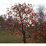 50 Persimmon Tree Seeds, Diospyros Virginiana