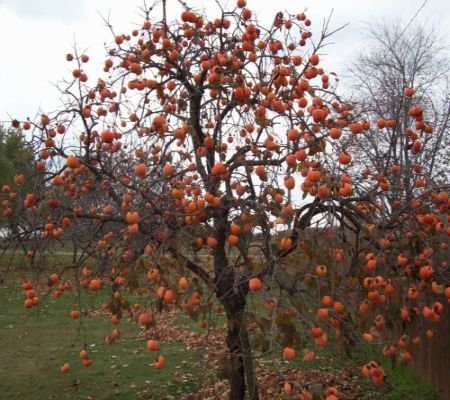 50 Persimmon Tree Seeds, Diospyros Virginiana Persimmon Trees Seeds