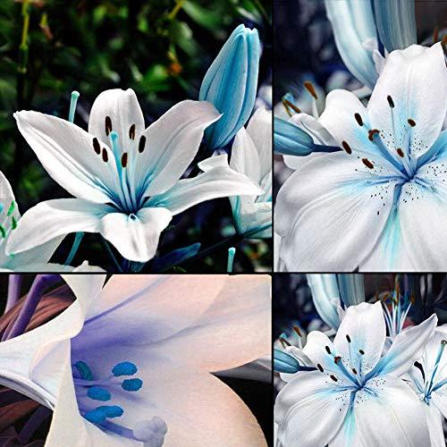 50pcs Blue Rare Lily Bulbs Seeds Asiatic Scented Perennial Flower Lilium Garden