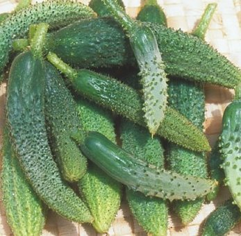 Cucumber Seeds- Parisian Pickling Heirloom- 30+ Seeds