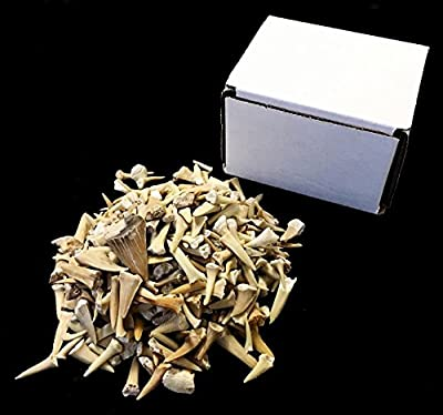 Half Pound of Genuine Shark Teeth in Gift Box - Fossilized Moroccan Teeth! - Wholesale Bulk Shark Teeth!
