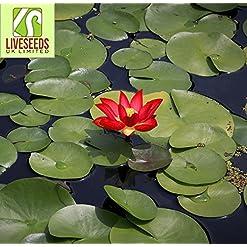 Lotus para estanque