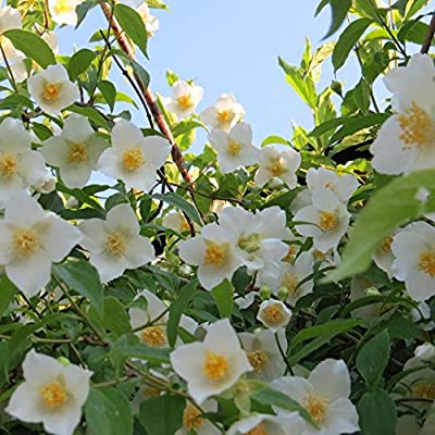 Temura 7 Sweet Mock Orange Jasmine seeds-1333 : Garden & Outdoor