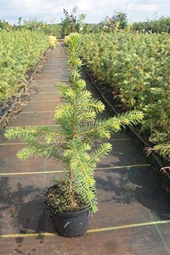 300 Stück Picea omorika - (Serbische Fichte)- Wurzelware 15-30 cm 3 jährig