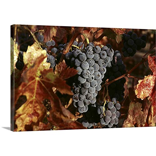 Great Big Canvas Gallery-Wrapped Canvas Entitled Zinfandel Wine Grapes Ready for Harvest in Napa Valley 60