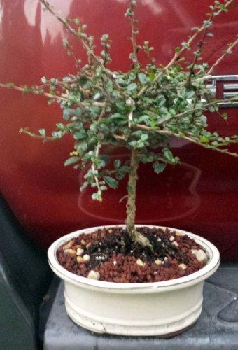 (Flowering Tea Bonsai Tree-Fukien-6 Years Old-From China)