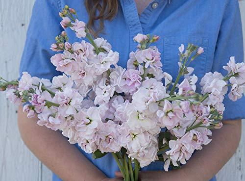 - David's Garden Seeds Flower Stock Katz Cherry Blossom SL4953 (Pink) 100 Non-GMO, Open Pollinated Seeds