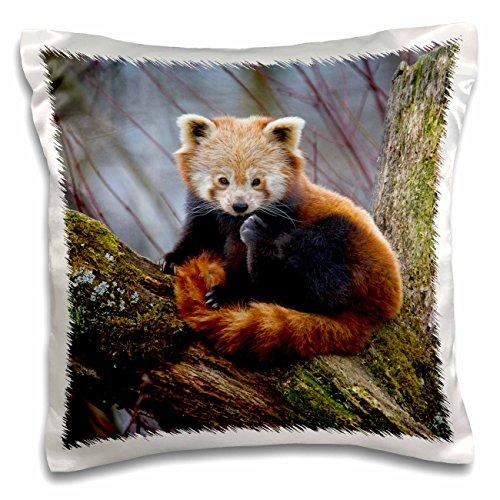 3dRose pc_140058_1 Red Panda Bear, Himalayas, Asia Na02 Amr0008 Andres Morya Hinojosa Pillow Case, 16