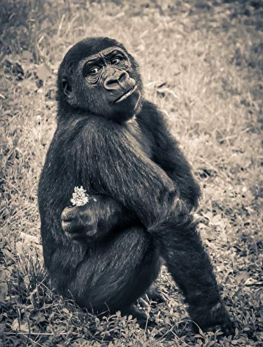 - Home Comforts Peel-n-Stick Poster of Endangered Species Gorilla Ape Puppy Young Monkey Vivid Imagery Poster 24 x 16 Adhesive Sticker Poster Print