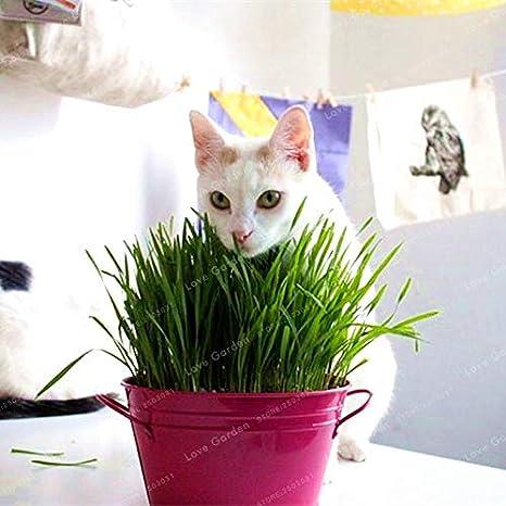 Pinkdose 100 Unids/Bolsa Abigarrada Hierba De Gato Bonsai Planta De Follaje Bonsai Trigo Hierba Menta Olor Comida Para Gatos Superior Para Su mascota: ...