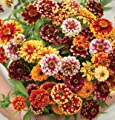 David's Garden Seeds Flower Zinnia Jazzy Mix D1980ZIN 100 Open Pollinated Seeds