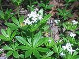 "Sweet Woodruff Perennial Plant - Galium-Herb/Groundcover - 3"" Pot"