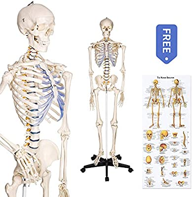 RONTEN Anatomical Skeleton lifesize 70.8 in, Including Booth + Cover ...