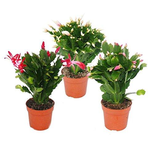 Weihnachtskaktus - Schlumbergera - Set mit 3 Pflanzen
