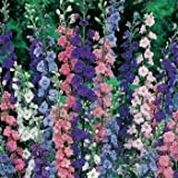Outsidepride Larkspur Rocket - 1000 Seeds