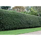 Nellie Stevens Holly Trees- Dense Evergreen Privacy Trees with Advanced Root Systems, not seeds or saplings- Up to 4 ft. Tall Holly Trees