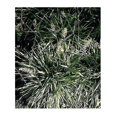 Sweet Vanilla Grass Anthoxanum odoratum 2, 000 Seeds : Garden & Outdoor