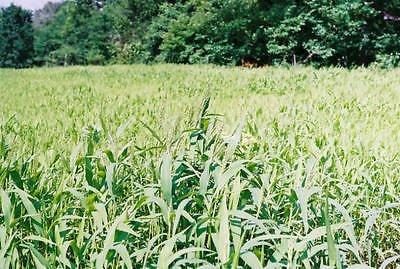 Brown Top Millet Seeds ''Premium Florida Grown'' 50 lbs by SeedRanch