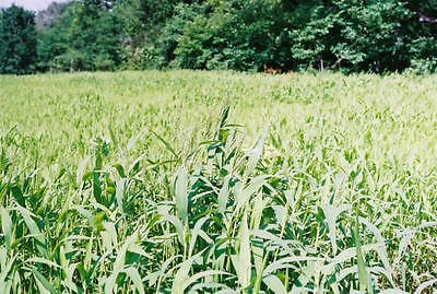 Brown Top Millet Seeds ''Premium Florida Grown'' 50 lbs