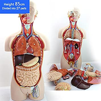 Amazon.com: Professional Medical Anatomy of Human Organ System Trunk ...