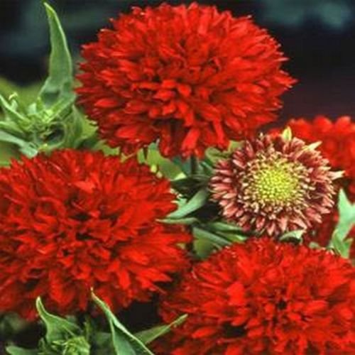 Gaillardia Blanket Flower (Gaillardia- Blanket flower- Sundance- Red- 50 seeds)