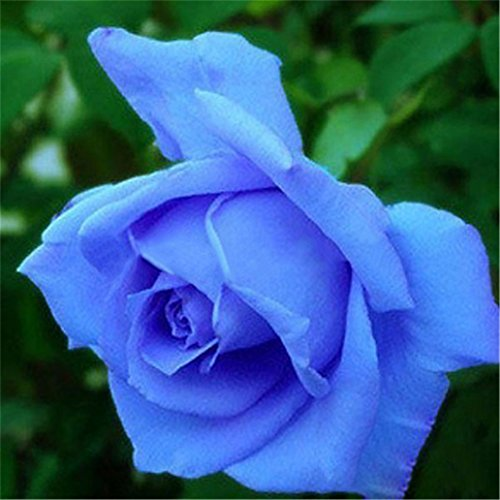 Flower Blue Rose (super1798 20 Pcs Rare Colorful Rose Flower Seeds DIY Home Garden Plant - Blue)