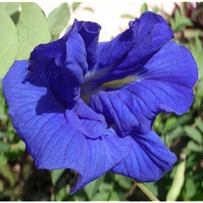 Clitoria ternatea | Double Blue Flowering Butterfly Pea Vine | 20 Seeds : Garden & Outdoor