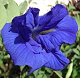 Clitoria ternatea | Double Blue Flowering Butterfly Pea Vine | 20 Seeds
