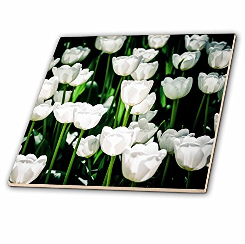 - 3dRose Alexis Photography - Flowers Tulip - Sunlit white tulip flowers, bright green stems - 8 Inch Ceramic Tile (ct_270704_3)