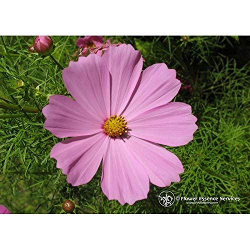 Flower Essence Services Supplement Dropper, Cosmos, 0.25 Ounce