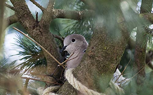 Home Comforts Laminated Poster Nest Building Collared Dove Nest Bird Garden Vivid Imagery Poster Print 24 x 36