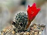 Go Garden Aylostera Mamillosa Orientalis 10+ Seeds. Lobivia Echinopsis Rebutia