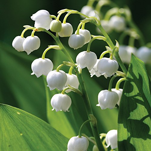 Convallaria Lily of the Valley Flower Bulbs - 5 pack