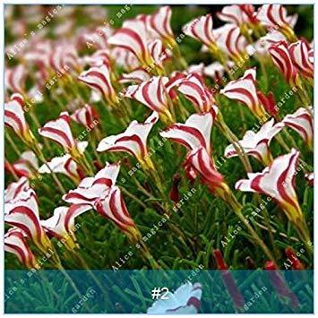 - Prime 2: zlking 2pcs True Oxalis Flower Bulbs Rare Oxalis versicolor Candy Cane Sorrel Flower Rotary Grass Pot Home Garden Plant Seeds 2