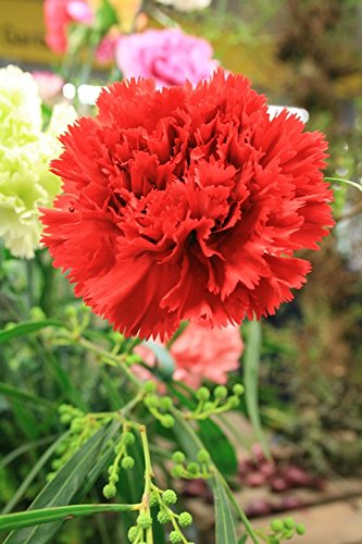 6b57ff48841c Amazon.com  Home Comforts Laminated Poster Dianthus Flower Carnation ...