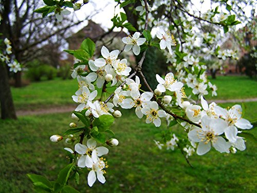 Home Comforts LAMINATED POSTER Spring White Flower Flowering Fruit Trees Poster 24x16 Adhesive Decal